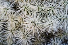 Spikey Cactus (Mike Kruft) Tags: cactus tree dangerous desert sharp needles spines spikes