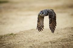 BUHO EN VUELO - OWL FLYING - EXPLORED (photojordi) Tags: en canon flying 400 owl l 28 vuelo buho 1dx photojordi