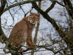 Eurasischer Luchs (Henry der Mops) Tags: forest cat katze wald luchs eurasianlynx img2634 eurasischerluchs canoneos6d canonlens100400mm hochwildschutzparkrheinböllen henrydermops mplez