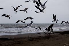 aves (betho itinerante) Tags: color atardecer libertad mar playa viento cielo alas nubes contraste parvada olas volando volar altocontraste