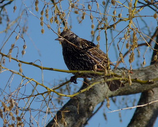 Starling in a Pagoda Tree
