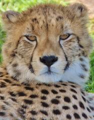 Cheetah...stare   (Explore) (stevelamb007) Tags: predator bigcat southafrica africanwildlife explore stevelamb africa cheetah gardenroute d90 eyes nose stare closeup kurland westerncape 212014explore