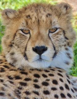 Cheetah...stare   (Explore)
