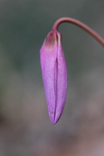 Dogtooth Violet - Erythronium dens-canis