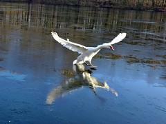 Schwan (mama knipst!) Tags: winter bird swan natur schwan vogel schwanenkinder villenhofermaar
