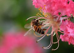 A Taste of Honey (PhotosbyDi) Tags: pink flower garden bee honeybee crepemyrtle nikond600 005365 003100 tamronf2890mmmacrolens hbbbt