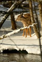 Which way . . . (Dr. Farnsworth) Tags: winter ice mi river feeding young deer hay fernridge rapidriver cedarswamp february2015