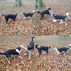 Stick game (zanypurr) Tags: friends game dogs plum stick tug millie bordercollies odc perfectmatch