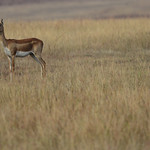 BBR-Female-Blackbuck-in-habitat