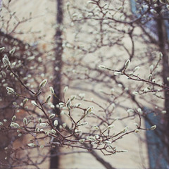 Project 52 - Week 6 (cherrygurl) Tags: winter spring first buds project52 canoneos6d february112015