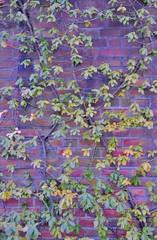 Winter vine on brick wall (stevelamb007) Tags: winter usa chicago wall us illinois flora nikon vine brickwall botanicalgarden d90 stevelamb 2015128 chicagobotanicgardenglencoeillinois