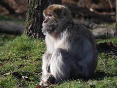 barbary ape (marcusbentus) Tags: africa nature gardens forest four lumix monkey northafrica north olympus panasonic micro ape stokeontrent om staffordshire fit thirds monkeyforest barbary trenthamgardens macaca 43rds sylvanus gx7 trentaham