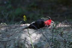 Male Magellanic Woodpecker at Tierra del Fuego NP IMG_9914 (grebberg) Tags: male bird argentina tierradelfuego nationalpark woodpecker january fugl 2015 campephilus tierradelfuegonationalpark campephilusmagellanicus magellanicwoodpecker