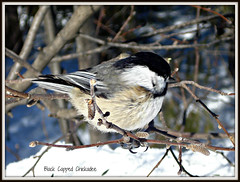 Black Capped Chickadee (Lightning StØrm) Tags: legacy tistheseason thegalaxy flickrstars peaceaward daarklands fantasticnaturegroup pinnaclephotography digitalartscenepro beautiesbeasts