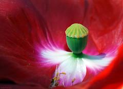 poppy head (dominiquesainthilaire) Tags: red flower macro green nature fleur rouge nikon head vert seeds poppy nikkor graines coquelicot bouton nikond80
