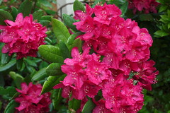 6I8A2900_12 (The Bacher Family) Tags: pink flower azalea