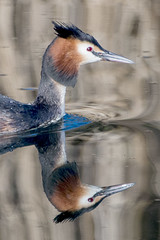 Great Crested Grebe Reflections at Nene Park Trust 10/03/15 (johnatkins2008) Tags: birds riverside lakeside waterside ferrymeadows greatcrestedgrebe grebes divingbirds neneparktrust johnatkins2008