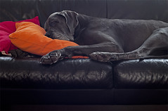 9-52 - Places dogs shouldn't be challenge (aenee) Tags: couch challenge week9 therapydog bluegreatdane aenee dsc4067 zorgdier 52weeksfordogs xziva blauweduitsedog 20150227