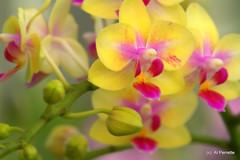 Mellow Yellow (Al Perrette) Tags: yellow orchids alperrette