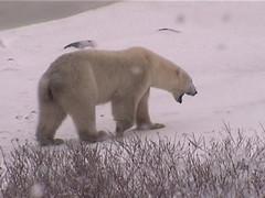 Polar Bear Roars