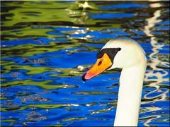 Portrait  eines  Schwans mit  Spiegelungen (Ostseetroll) Tags: portrait water reflections geotagged deutschland swan wasser balticsea lbeck schwan ostsee deu schleswigholstein spiegelungen lbecktravemnde olympusem10 geo:lat=5395553335 geo:lon=1086573761