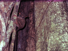 Tarsier Sulawesi