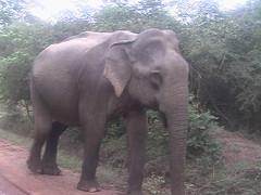 Elephant Yala Sri Lanka