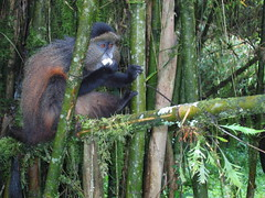 Golden Monkey Volcanoes NP Rwanda