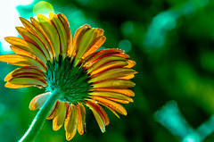 SUNLIGHT (sanlapb) Tags: flower macro green yellow backlight n single nikob d7000 jarrbera