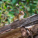 "Chipmunk • <a style=""font-size:0.8em;"" href=""http://www.flickr.com/photos/124671209@N02/27653602173/"" target=""_blank"">View on Flickr</a>"