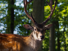 Deep in the forest (FocusPocus Photography) Tags: wild animal stag wildlife deer tier hirsch sika tripsdrill wildparadies wildtier sikawild