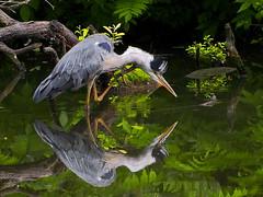 160713-0925 _Charlottenburg_SOOCx_ (Pixel-Cat) Tags: berlin pond olympus ardea teich vogel omd charlottenburg reiher herron graureiher em5 sooc schlospark mzuiko75300mmf4867ii