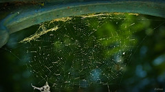 Mrs. Spider ya no vive aqu (Franco DAlbao) Tags: francodalbao dalbao fuji telaraa red net web geometra geometrics abandonada abandoned trampa trap araa spider engao trick arma muerte death weapon seda silk horror comida food construccin construction