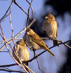 Jilgueros [Con frio] (jagar41_ Juan Antonio) Tags: animal aves pjaros ave animales pjaro jilgueros jilguero