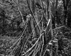 Cut trees and severed branches (hyons Wood) (Jonathan Carr) Tags: trees bw white abstract black monochrome rural landscape cut branches 4x5 abstraction rodinal northeast sever largeformat severed toyo 5x4 ancientwoodland rolleirpx25 hyonswood