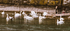 Swan Lake (vdwarkadas) Tags: swan swans lakegeneva switzerland birds geneva water canon canonsx50hs
