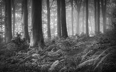 0157 (gcu_sketcher) Tags: morning trees summer bw mist sunrise woodland dawn countryside woods somerset daybreak xt1 silverefexpro xf1655