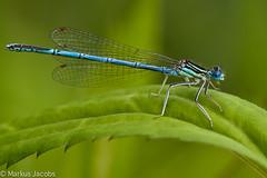 Mnnchen der Blauen Federlibelle (markus.jacobs1899) Tags: macro nature animal closeup insect tiere nikon natur makro damselfly  insekten odonata  libellen wildtiere  d700 nikkormicro200mm