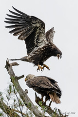Lunch Time (20160709-145056-PJG) (DrgnMastr) Tags: bravo fb cropped eagles baldeagles eaglets littlestories avianexcellence diamondclassphotographer flickrdiamond sacrednature naturesspirit picswithsoul naturescarousel ia44 dmslair sunshinegroup grouptags allrightsreserveddrgnmastrpjg pjgergelyallrightsreserved