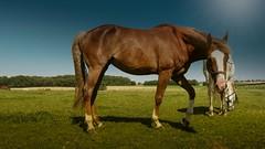 horses (Yasmine Hens) Tags: horses nature cheval europa flickr belgium campagne chevaux namur hens yasmine wallonie hensyasmine