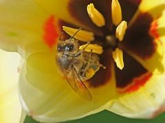 Rafz_016_07042010_09'59 (eduard43) Tags: biene bee collecting sammeln nektar nectar natur nature tiere animals