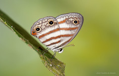 Butterfly Euptychia westwoodi (Almir Cndido de Almeida) Tags: borboleta butterfly euptychia inseto lepidoptera amazonia amazon rain forest floresta alta mt junho 2016