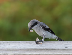 Loggerhead Shrike (ruthpphoto) Tags: bird shrike loggerheadshrike outdoor animal