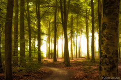Early morning in the forest 2 ( Jenco van Zalk) Tags: netherlands holland jenco speulderbos sprielderbos beech light sunlight nature forest landscape outdoor tree pinetum plant natural rural