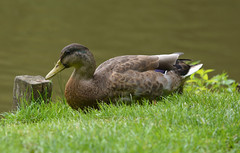 Animals. (ost_jean) Tags: swan canard zwaan eend vogel bird dier nikon d5200 900 mm f28 ostjean