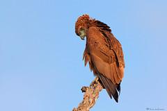 Fledgling (Bateleur Eagle) (leendert3) Tags: bateleureaglejuvenile ngc npc sunrays5