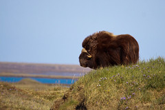 A Herd of One (blkwolf1017) Tags: arctic nomad tundra muskox muskoxen canon50d sigma150500mm