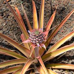 Maui Gold Pineapple (rschnaible) Tags: food usa plant color botanical island gold hawaii us colorful tour pacific outdoor sightseeing maui tourist prison pineapple production lahaina