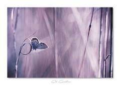 ... (Gil Gautier @GilGPhotographie) Tags: gilgphotographie gilgautier nikon d4s 180mm sigma bleu blue papillon butterfly