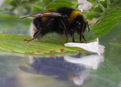 bumblebee (Xtraphoto) Tags: bumblebee hummel insekt doppelt mirror spiegelung reflection